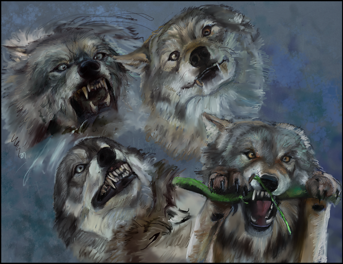 Photo study of wolves making funny faces.